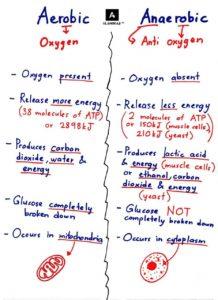 Aerobic vs Anaerobic Bacteria Cellular Respiration