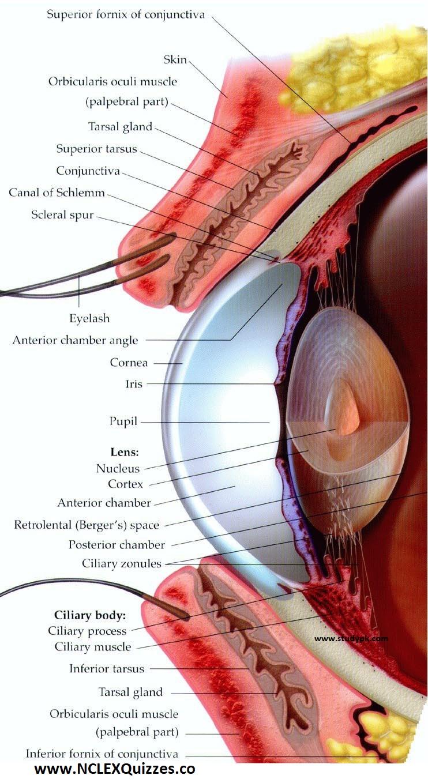 Large Human Eye Anatomy Diagram