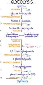 Glycolysis Flow Chart