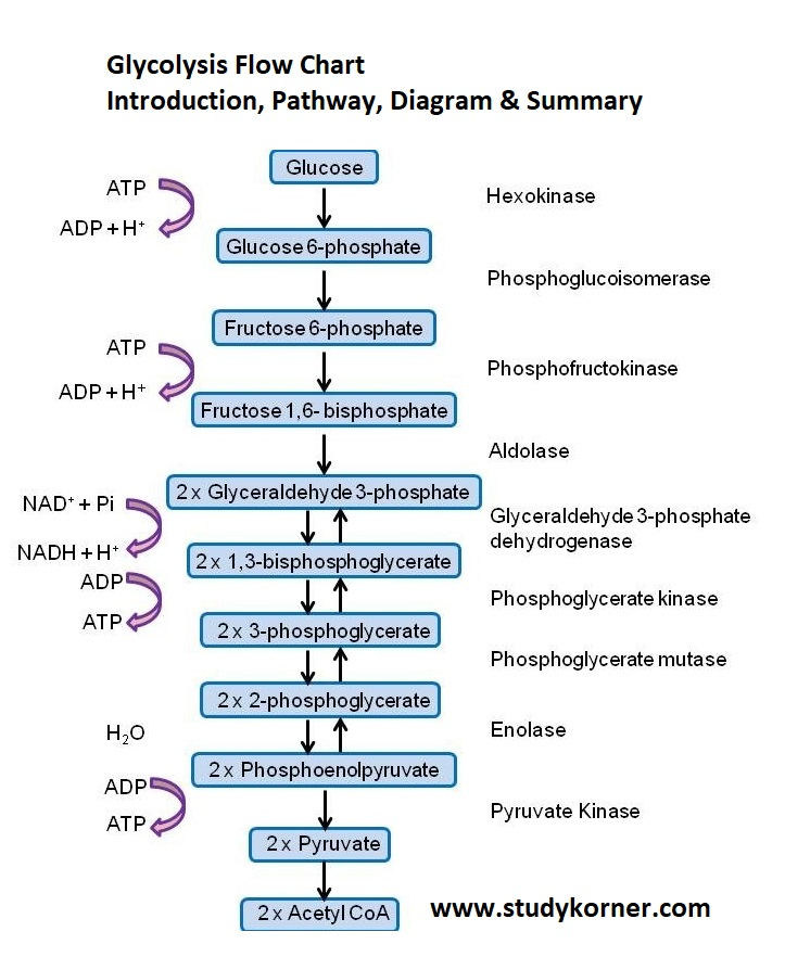 Glycolysis Flow Chart Introduction Pathway Diagram & Summary