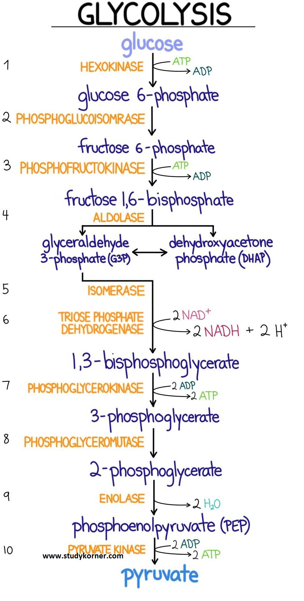 Glycolysis Flow Chart