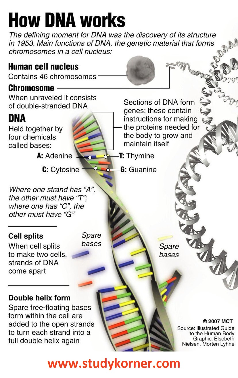 Deoxyribonucleic Acid (DNA) Biology Science Facts