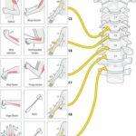 Myotome Muscles Upper Limb Neurological Examination