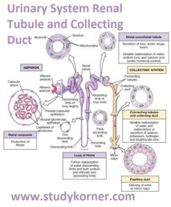 Urinary System: Renal Tubule and Collecting Duct