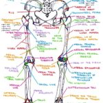 Bones & Bony Landmarks of Lower Extremity